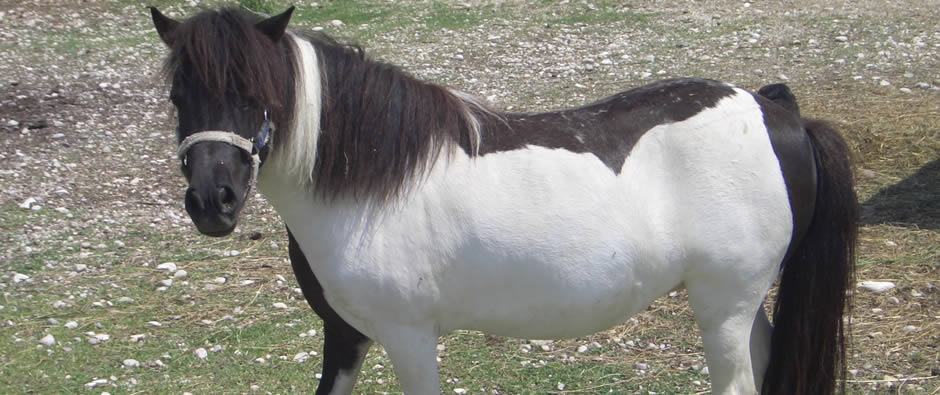 il pony Shelly